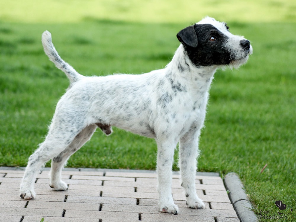 Parson (Jack) Russell Terrier